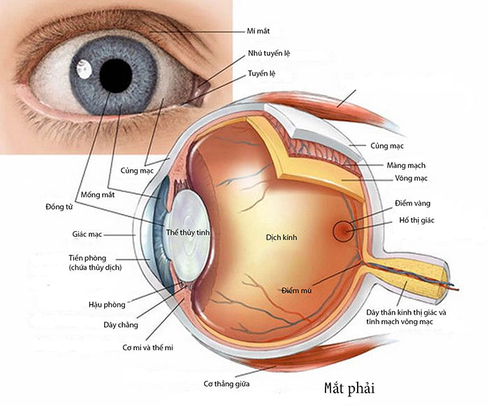 Kết quả hình ảnh cho cấu tạo về mắt